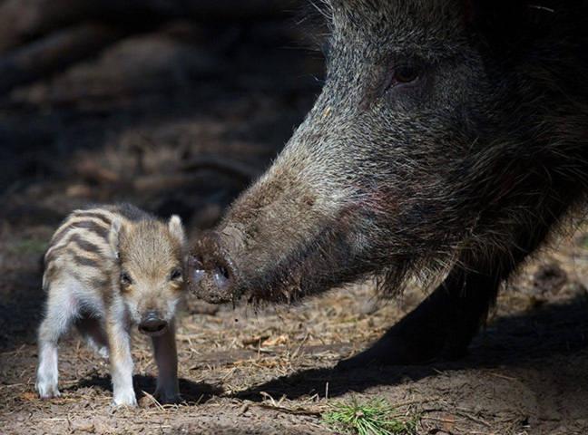 Một chú lợn lòi nhỏ đang đứng cạnh bên mẹ trong một khu bảo tồn động vật hoang dã ở Klaistow, Đức.