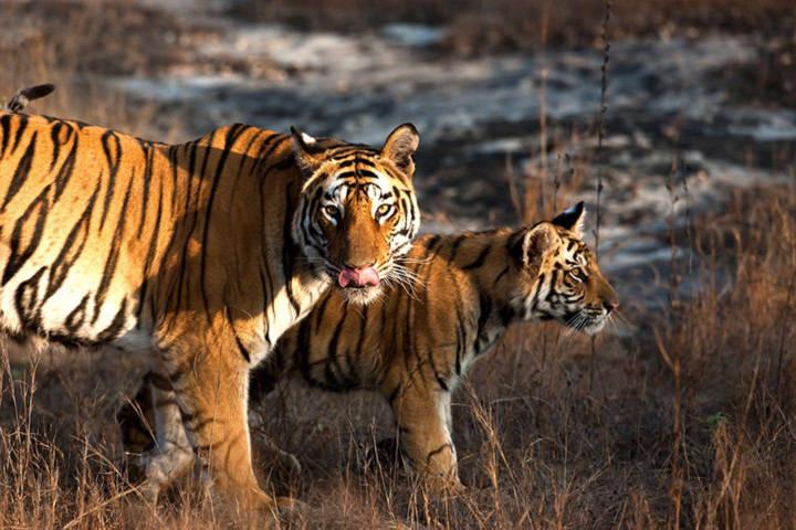 Số lượng hổ Ấn Độ lần đầu tiên tăng trong một thập kỷ vừa qua.