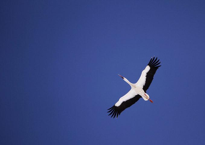 Một con cò trắng giang thẳng cảnh trên bầu trời xanh ở Elnya – một trong những đầm lầy lớn nhất châu Âu.