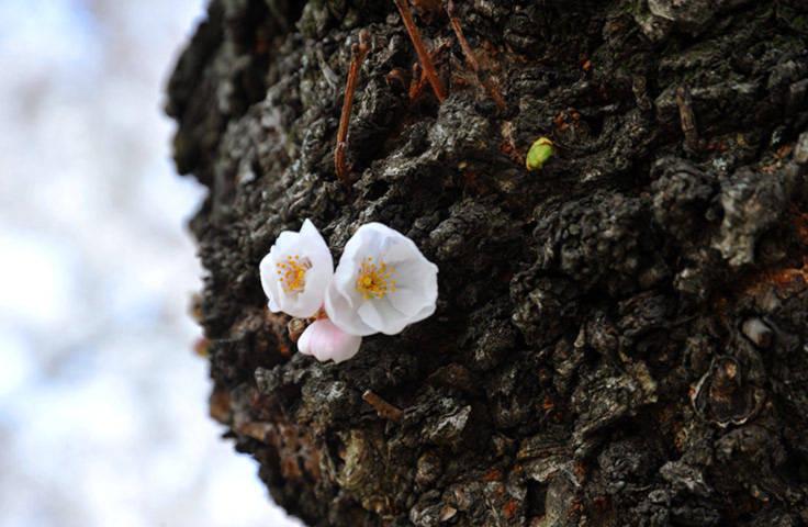 Hoa anh đảo nở trên thân cây ở Washington, Mỹ.
