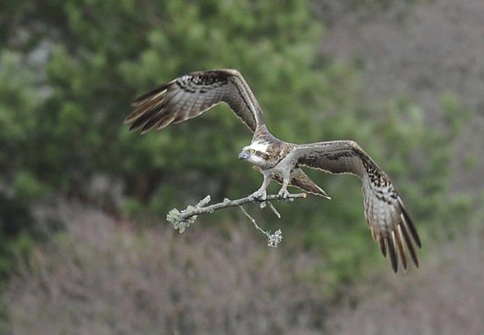 Một con chim ưng biển đang cắp cành cây để xây tổ ở Lowes, Scotland.