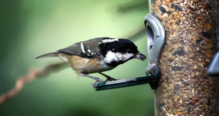 Một con chim sẻ ngô đang ăn hạt ở Bangor, xứ Wales.