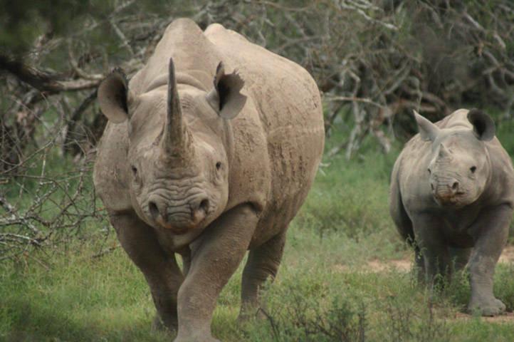 Số lượng loài tê giác châu Phi đang suy giảm nghiêm trọng do nạn săn bắn trái phép. Hơn 800 con tê giác châu Phi bị giết để lấy sừng trong 3 năm vừa qua.
