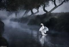 Ảnh đẹp: Ngỗng tập bay trên mặt nước lúc bình minh
