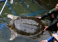 Rùa hồ Gươm có thể không cùng loài giải Thượng Hải