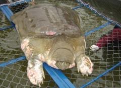 Rùa Hồ Gươm là 'cụ bà'