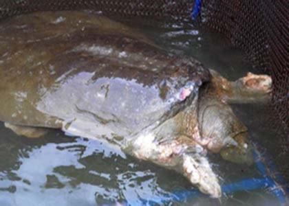 Rùa Hồ Gươm