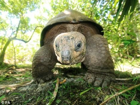 Rùa khổng lồ cứu đảo gỗ mun