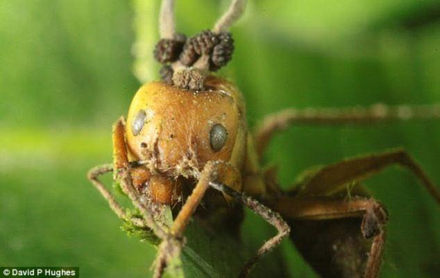 Nấm ký sinh phát triển trên đầu của một con kiến thợ ở rừng mưa Thái Lan.