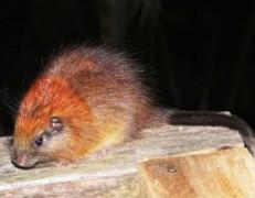 Chuột đầu đỏ 'tái xuất' sau hơn 100 năm