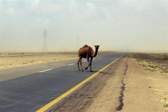 Một con lạc đà đang tìm chỗ trú ẩn sau khi bão cát tràn qua khu vực Ajdabiyah, Libya.