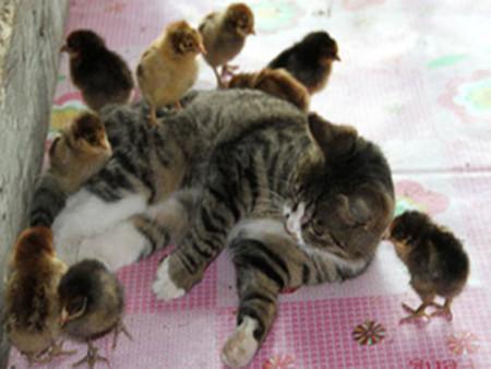 Mèo mẹ nuôi 30 gà con