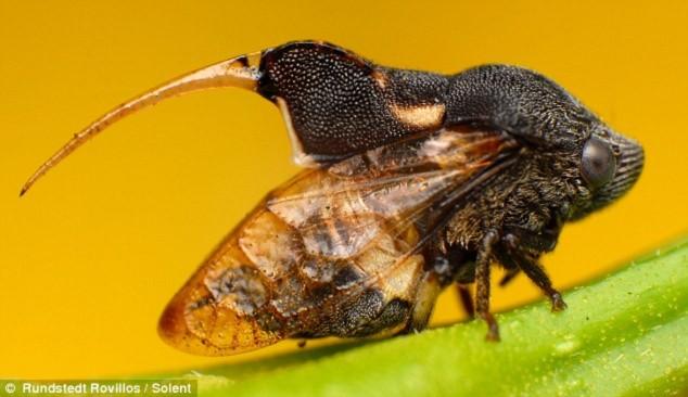 Loài bọ Machaerotid Spittle sở hữu chiếc đuôi độc.
