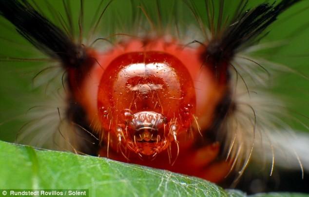 """Sâu bướm nhiệt đợi với """"vẻ mặt dữ dằn""""."""