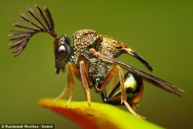 Loài ong Eucharitid có cái đầu bắt mắt, trông giống như đang mặc trang phục trình diễn.
