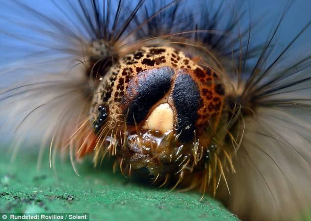 Cận cảnh một con sâu bướm., với những chiếc lông vươn ra đầy mãnh lực.