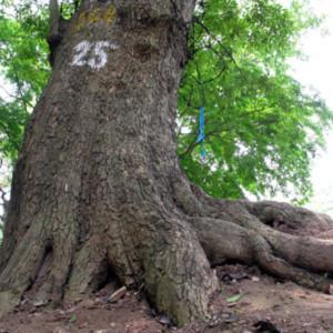 'Ngọn núi triệu đô' và những gốc cây bạc tỷ giữa HN