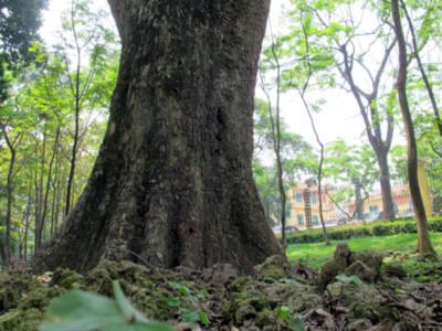 Ngọn núi triệu đô' và những gốc cây bạc tỷ giữa HN - Tin180.com (Ảnh 12)
