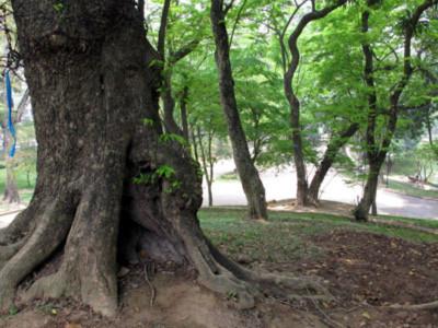 Ngọn núi triệu đô' và những gốc cây bạc tỷ giữa HN - Tin180.com (Ảnh 8)