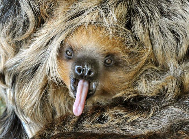 Chú lười con 8 tháng tuổi đang nằm yên trong vòng tay mẹ ở rừng nhiệt đới thuộc Trung và Nam Phi.