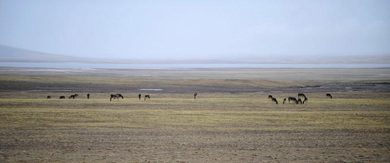 Những con lừa hoang dã đang gặm cỏ trên thảo nguyên gần một hồ nước ở Hoh Xil, Tây Tạng.