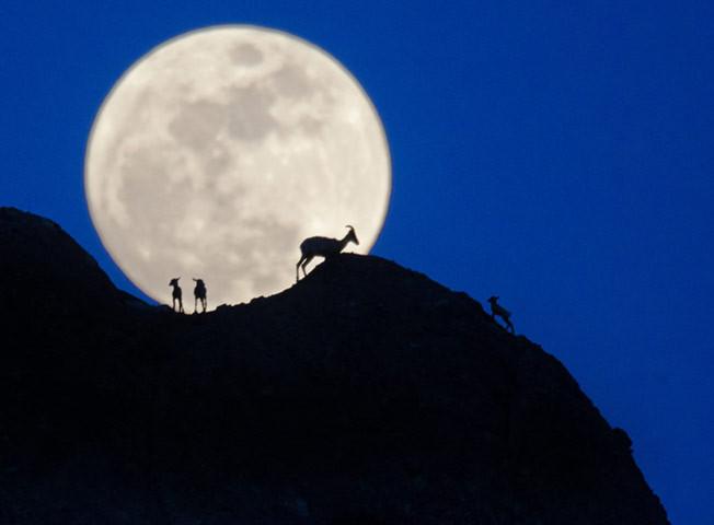 Những con dê núi dưới ánh Trăng đang lên ở Phoenix, Mỹ.