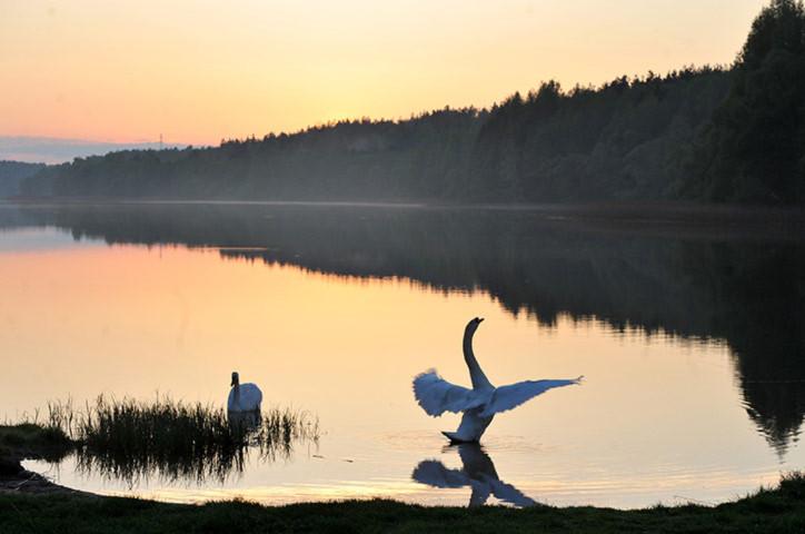 Thiên nga bơi trên hồ Viacha, ở Minsk, Belarus.