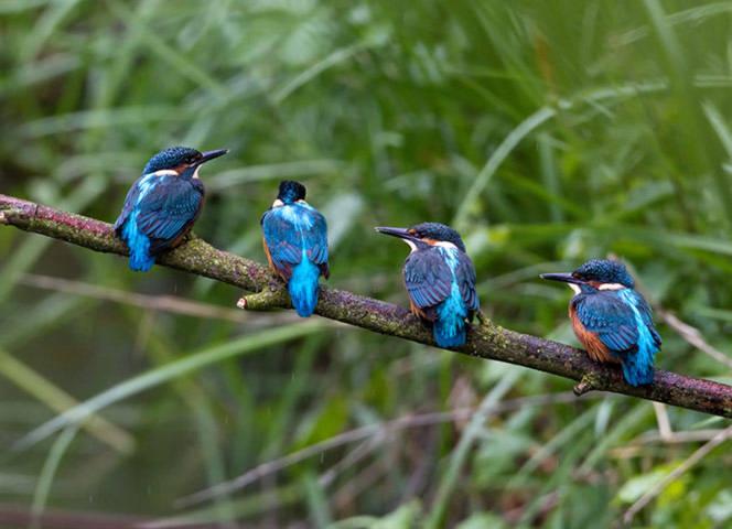 4 chú chim bói cá nhỏ đang đậu trên cảnh cây ở khu bảo tồn Fairburn Ings, Yorkshire, Anh.