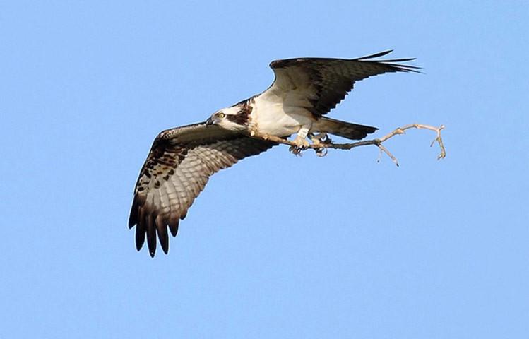 Một con chim ưng biển đã trở lại tổ sau nhiều ngày mất tích.