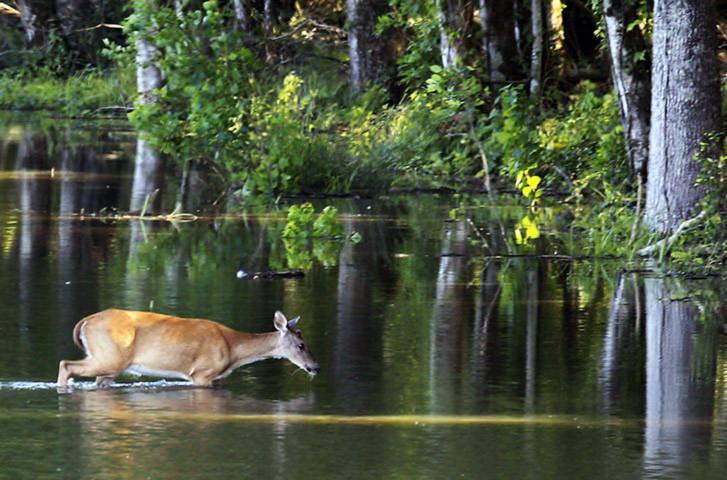 Không ngại nguy hiểm, một chú hươu đã liều mình lội qua sông Atchafalaya ở bang Louisiana, Mỹ để đi kiếm ăn.