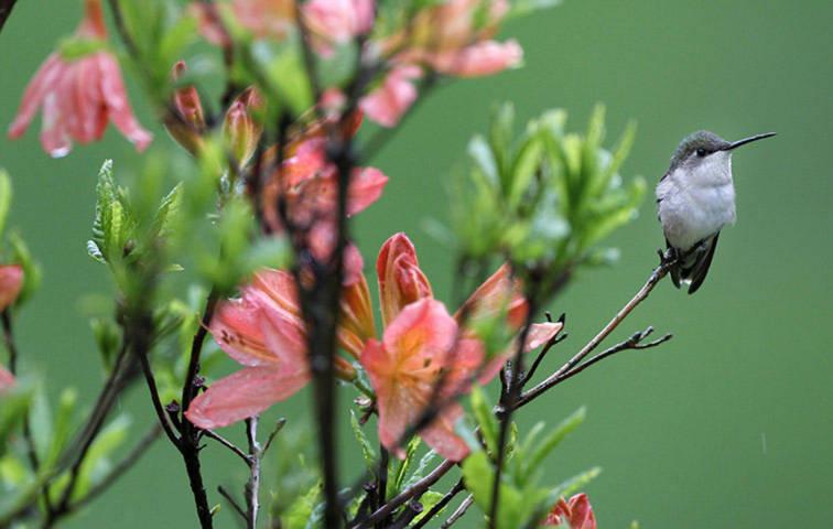 Một con chim ruồi đang đậu trên một cành cây đỗ quyên ở Moreland Hills, Ohio, Mỹ.
