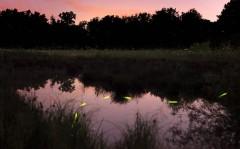 Ảnh đẹp: Đom đóm lập lòe trong đêm hè