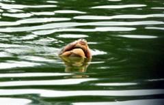 Quen được nuôi, trở lại hồ, cụ Rùa sẽ ăn gì?