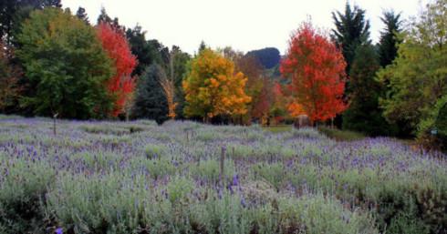 Sắc tím oải hương và những chiếc lá thu đỏ vàng rực rỡ 1 góc trời đã tạo nên một bức tranh thiên nhiên thật mê đắm lòng người (ảnh chụp ở Lavender Farm, Mornington Peninsula)