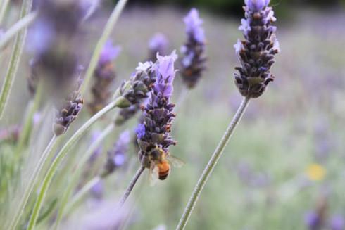 Sắc thu Melbourne lúc chớm đông còn điểm xuyến thêm sắc tím mộng mơ của những vườn oải hương với rất nhiều thể loại, làm tôi lại nhớ đến màu tím Huế mộng mơ trong tà áo dài thướt tha mà cô tôi, bà nội tôi cũng như những người con gái Huế khác rất đỗi tự hào (ảnh chụp ở Lavender Farm, Mornington Peninsula)
