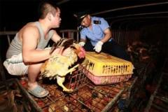 Sốc với gà độc ở Trung Quốc