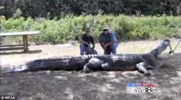 Bắt được cá sấu có kích cỡ to kỷ lục tại Mỹ