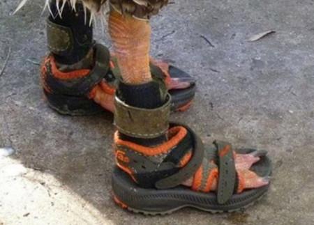 Chú ngỗng đi sandal sành điệu