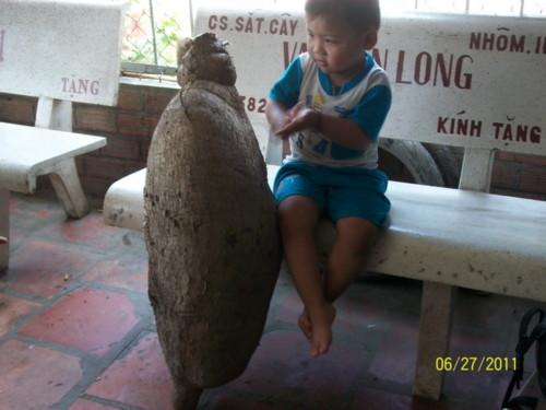 Củ khoai mì dài 1,2m, nặng 38kg