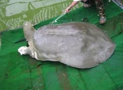 Cụ Rùa sắp trở lại hồ Gươm