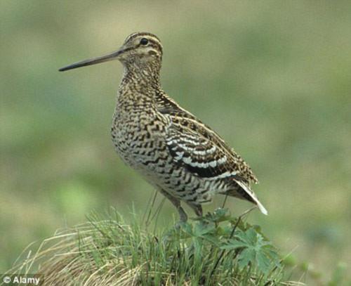 Kinh ngạc loài chim bay 6.000 km không thèm nghỉ