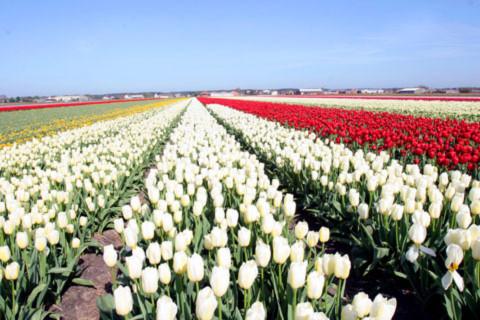 Con người ở đây hiền hòa, đất nước thanh bình và yên ả lạ thường... Nhưng ấn tượng hơn cả là những cánh đồng hoa tulip trải dài bất tận làm mê hồn du khách thập phương.