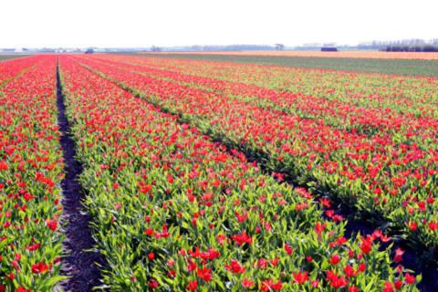 Những cánh đồng hoa trải tít tắp.