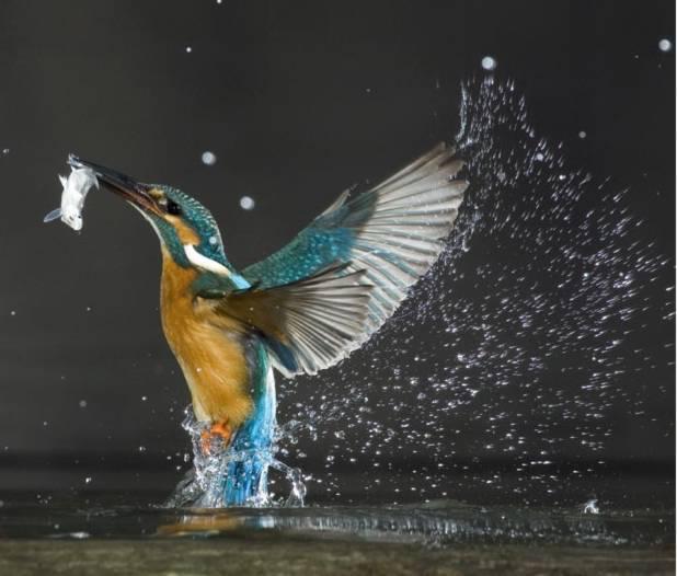 """Bói cá đang """"vật lộn"""" với con mồi ở hồ Balaton (Hungary)."""
