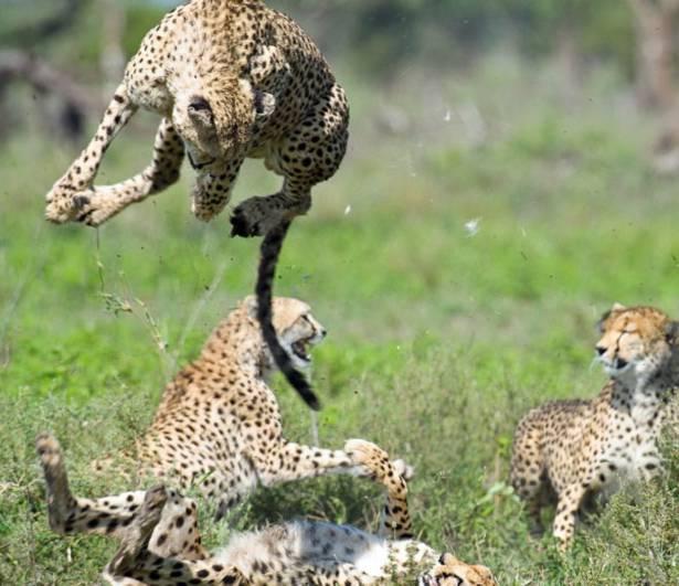 Trận đấu giữa các con báo ở khu bảo tồn Ngorongoro, Tanzania.