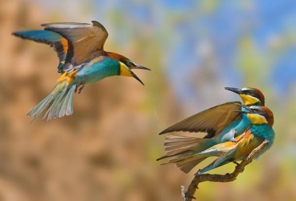8.Sự tức giận của một chú chim khi bắt gặp bạn đi với người khác. Loài chim này đã bay hơn 4.220 dặm từ châu Phi đến nam Israel vào mùa hè.