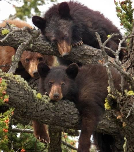 3 chú gấu thư giãn trên cây ở độ cao hơn 12m.