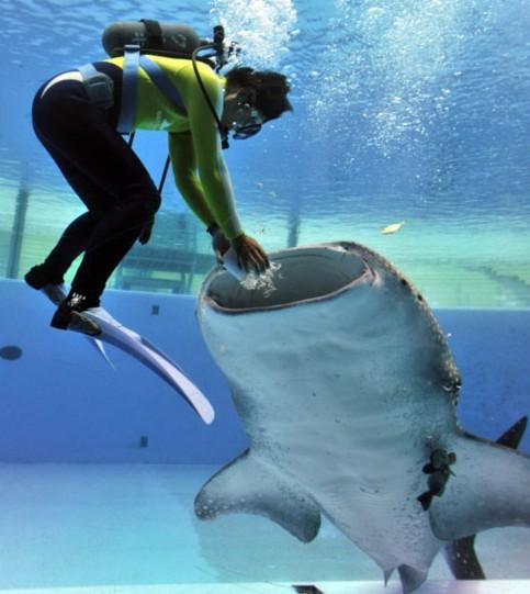 Thợ lặn đang cho cá mập ăn ở khu thủy sinh Sea Paradise, Hakkeijima, Yokohama (Nhật Bản).