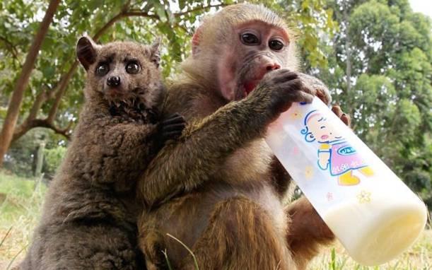 1.Khỉ vàng đầu chó 7 tháng tuổi tại trụ sở động vật hoang dã Kenya, nhận nuôi Galagos – loài linh trưởng có nguồn gốc ở lục địa châu Phi.