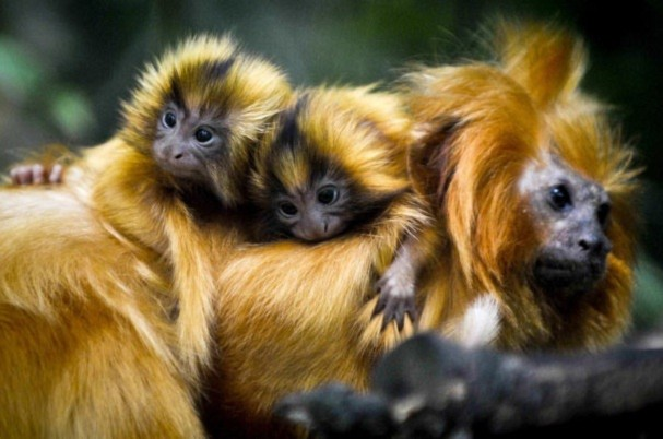 Những chú khỉ sư tử con (còn gọi là tamarins) 3 tuần tuổi đang ở bên mẹ ở vườn thú Bristol.